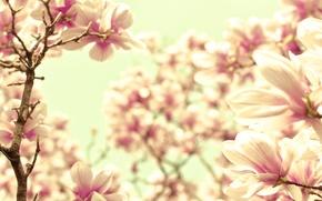 Picture macro, flowers, nature, sprig, pink, tenderness, color, branch, petals, blur, cream, Magnolia