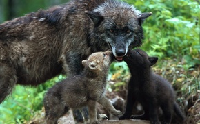 Wallpaper tenderness, kids, the cubs, care, love, wolves