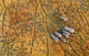 Picture grass, Africa, elephants, Botswana, the Okavango Delta