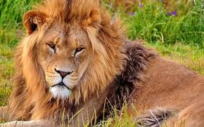 Picture face, Leo, mane, lies, looks