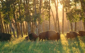Picture forest, Canada, Albert, Buffalo, Elk Island National Park