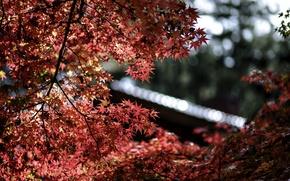 Picture leaves, macro, glare, focus, Tree, blur, red, maple, bokeh