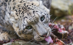 Picture cat, look, predator, snow leopard, ©Tambako The Jaguar, face, IRBIS, language