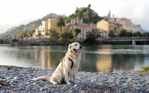 Picture the city, river, dog, Retriever
