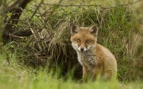 Picture Fox, cub, Fox