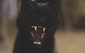 Picture yawns, black cat, mooninherhair