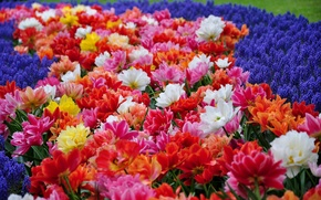 Picture Park, tulips, hyacinths