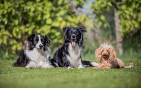 Picture poodle, friends, trio, the border collie, dogs, Trinity, bokeh