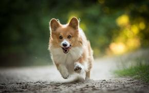 Picture joy, mood, dog, running, walk, Welsh Corgi