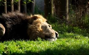 Picture cat, grass, animal, mane, Leo, lies, beast, resting, Lion