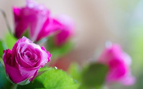 Picture leaves, rose, petals, Bud
