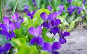 Picture flower, purple, spring, gently, forest, flower, violet