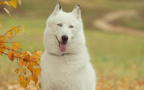 Picture language, each, Wallpaper, dog, husky, wallpapers, man, Siberian, Tim