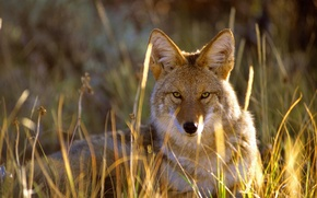 Picture grass, look, Colorado, USA, coyote, Gunnison National Park