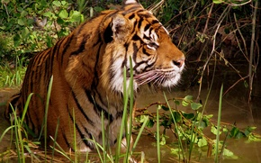 Picture Tiger, bathing, pond, leisure