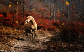 Picture ROAD, FOREST, HORSE, MANE, TRAIL, AUTUMN