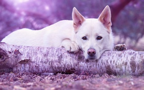 Wallpaper sadness, forest, look, face, pose, background, tree, portrait, dog, paws, lies, white, log, bumps, dog, ...