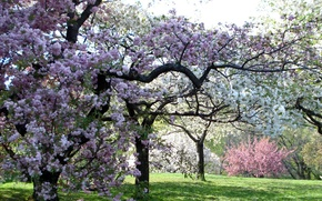 Picture trees, color, spring, garden, pink