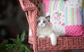 Picture cat, look, kitty, chair, fluffy, lies, pillow, face, blue-eyed, foot, adorable, ragdoll
