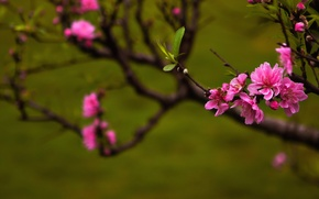 Picture nature, spring, Peach blossoms