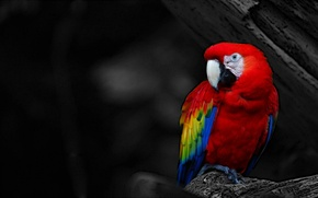 Picture red, bird, parrot, black and white