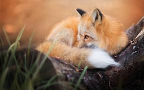 Wallpaper autumn, Fox, fluffy, tail, Fox