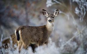 Picture nature, deer, mule