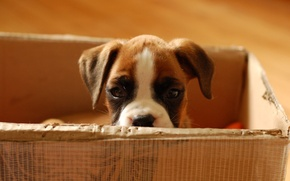 Picture look, baby, Puppy, cardboard box