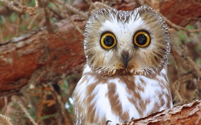 Picture owl, bird, eyes, North American boreal owl