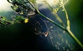 Wallpaper Spider, web, plant