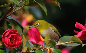 Picture branch, bird, red Camellia, white-eyed, flower, leaves