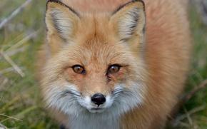 Picture face, Fox, Fox