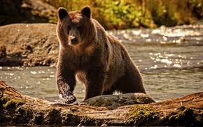Wallpaper water, nature, river, bear