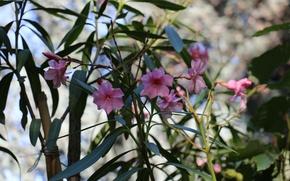 Picture nature, spring, oleander