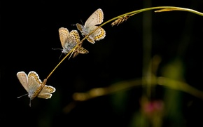 Picture butterfly, the dark background, spikelets, trio, a blade of grass