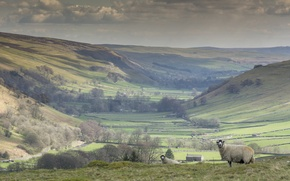 Picture field, sheep, England, North Yorkshire, Littondale