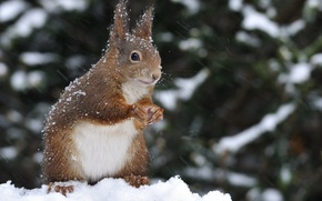 Picture winter, snow, nature, animal, protein, rodent