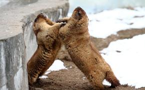 Picture snow, fauna, animal world, aviary, marmots