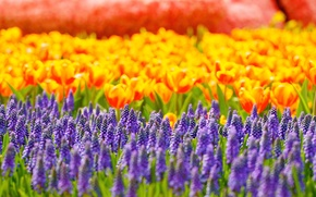 Picture Muscari, glare, flowers, tulips