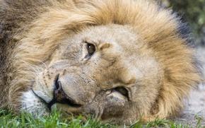 Picture cat, look, face, Leo, ©Tambako The Jaguar