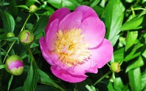 Picture macro, pink, peony