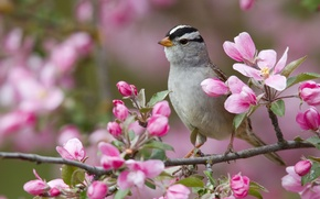 Picture flowers, bird, branch, white-headed Sparrow oatmeal