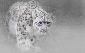 Picture winter, cat, snow, snow leopard