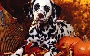 Picture autumn, pumpkin, Dalmatians