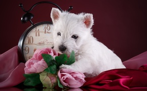 Picture white, flowers, watch, puppy, breed
