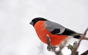 Wallpaper Bullfinch, bird, nature