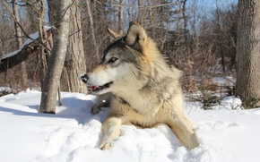 Picture winter, forest, wolf