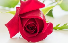 Picture macro, rose, Bud, red rose