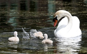 Picture WHITE, FAMILY, DROPS, SQUIRT, POND, DIP, POND, SWAN, DUCKLINGS, CARE, CONTROL), DIVING