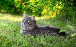 Picture cat, summer, grass